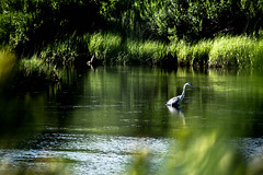 morning dip (-gregg-) Tags: stmichaels maryland reflections water bay nature green bird grass trees sunlight