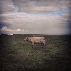 Mooooooo! #holycow #cow #ireland