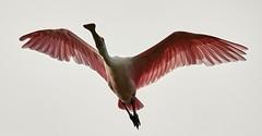 Oct 26 201621188 (Lake Worth) Tags: animal animals bird birds birdwatcher everglades southflorida feathers florida nature outdoor outdoors waterbirds wetlands wildlife wings canoneos1dxmarkii canonef500mmf4lisiiusm