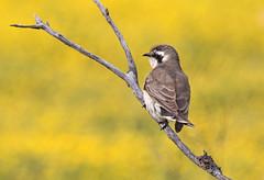 Black-eared Cuckoo (christinaportphotography) Tags: blackearedcuckoo chrysococcyxosculans cuckoo roundhill lakecargelligo nsw australia bird birds wild free