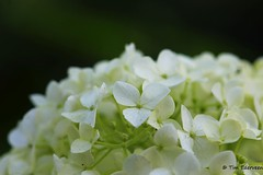 Close-up (Tim Ederveen) Tags: flower flowers hortensia outdoor nature landscape canoneos1200d canon macro closeup white green
