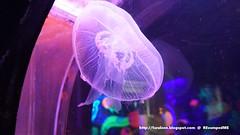 Jelly Fish Aquaria KLCC (Mizzlynx) Tags: kualalumpur klcc aquariaklcc marinelife aquarium sealife sharks jaws asia malaysia jellyfish underwater water blue