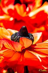 OrangeFlower2b.jpg (raysul) Tags: flower macro flowerphotography floralart closeup depthoffield decorative beautyinmacro