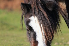 Bossy Boots Pony (gowerponies) Tags: gower pony experience cefn bryn reynoldston swansea wales galles welsh mountain ponies section a wild hill feral horses horse cavallo cheval caballo pferd
