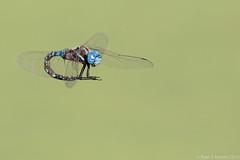 Rubino Blue eyed Darner in flight cleaning abdomen 20161009 Tijuana River Valley CA 315 (Ryan Rubino) Tags: blue eyed darner aeshna multicolor flight dragonfly closeup contortionist