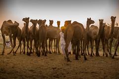 L1002814.jpg (Bharat Valia) Tags: pushkarfair bharatvalia desert bharatvaliagmailcom pushkarmela pushkarimages festivalsofindia pushkar camel pushkarcamelfair sheperd