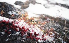 End of Summer (nroclaniffirg) Tags: arctic axelheiberg axelheibergisland higharctic canada canadianarctic nunavut ellesmere polar kodak portra mcgill mcgillarcticresearchstation tundra moss snow