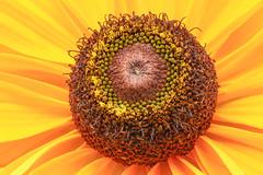 Rudbeckia Central Disc (Sandyp.com) Tags: rudbeckia macro blackeyedsusan flower sonyalpha sonya7rii topazsoftware heliconfocus
