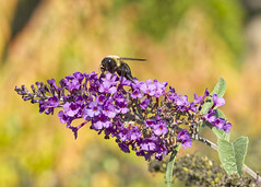 Bee on Butterfly Bush (mmorriso2002) Tags: bee butterflybush backyardhabitat newjersey pdpnw insect flyinginsect nature