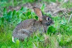 20161125-LRC25380.jpg (ellarsee) Tags: rabbit flickr bunny laselvabeach california unitedstates us