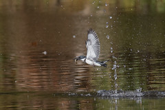 Belted Kingfisher (NickJaramillo) Tags: kingfisher birds newjersey beltedkingfisher canon wildlife bif nature