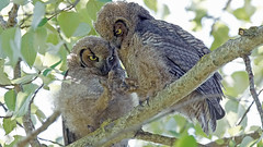 Owlets playing Rock, Paper, Scissors (photosauraus rex) Tags: owls bird animal outdoor greathornedowls vancouver bc canada bubovirginianus shotinthewild raptors birdofprey