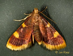 05524 Hypsopygia costalis - Clover Hayworm 2 (Tucker) (MO FunGuy) Tags: 5524 hypsopygiacostalis cloverhayworm tucker prairie missouri moth