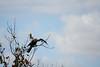 DSC06107.jpg (joe.spandrusyszyn) Tags: byjoespandrusyszyn suliformes anhingidae unitedstatesofamerica florida anhingaanhinga vertebrate nature bird orlando lakeapopka darter snakebird lakeapopkalooptrail animal anhinga