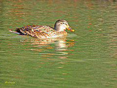 Hembra de Azulón (Anas platyrhynchos) (11) (eb3alfmiguel) Tags: aves acuaticas anade azulon hembra