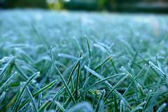 leaves of grass (nelescholten) Tags: ice winter grass frozen nature pastel sharp