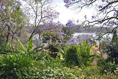 0057 Hunters Hill.jpg (Tom Bruen1) Tags: 2016 arianaschristening huntershill jacarandatree