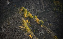 Autumn in the Chandra Valley, India 2016 (reurinkjan) Tags: india 2016 ©janreurink himachalpradesh spiti kinaur ladakh kargil jammuandkashmir chandravalley trees autumn himalayamountains himalayamtrange himalayas landscapepicture landscape landscapescenery mountainlandscape lahaul