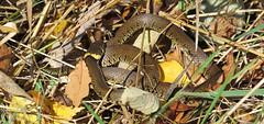 Grass Snake (Natrix natrix) (Julian Hodgson) Tags: grasssnake natrixnatrix reptilia reptile snake woodwaltonfen nationalnaturereserve cambridgeshire greatfen canonpowershotsx50hs