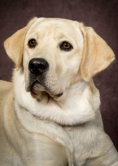 102916 service dog _DSC6760 (Sweet P's Photography by Winny Clum) Tags: servicedog puppyintraining goldenretriever dog