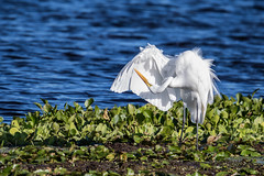 Wing Inspection (Michael R Hayes) Tags: greategret egret orlandowetlandspark bird white water blue hyacinth wetlands florida wildlife