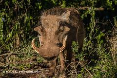 DSC02492.jpg (ChrMous) Tags: tamronsp150600mmf563 knobbelzwijn southafrica zoogdieren zuidafrika sonyslta99 animals 2016 commonwarthog phacochoerusafricanus