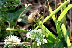 16BeeFlower_9057n (OJCPhotoInc) Tags: ojcallahanphotography macro macrophotography macroflowers canonef100mmf28lismacro canoneos7d bee bumblebee whiteflower beeandflower flowerandbee