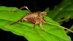 Katydid nymph, Typophyllum sp.? (Ecuador Megadiverso) Tags: andreaskay ecuador amazon book grasshopper katydid leafmimickingkatydid nymph orthoptera pterochrozinae puyo tettigoniidae ursula