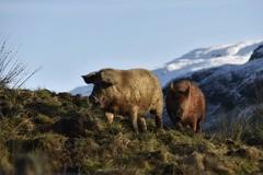 Highland pigs 😀 (Anne Young2014) Tags: scotlandfromtheroadside visitscotland scotspirit scotland pigs snowcapped trossachs lochlomond inversnaid
