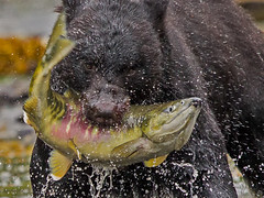 Alaska '12_0895 (Jimmy Vangenechten 76) Tags: geo:lat=5578724349 geo:lon=13149080786 geotagged alaska blackbear ursusamericanus amerikaansezwartebeer wildlife neetsbay neetscreek ketchikan tongassnationalforest animal dier
