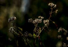 Before Winter (Klaus Ficker --Landscape and Nature Photographer--) Tags: weed softtone winter lastdayoftheyear usa kentucky kentuckyphotography klausficker canon eos5dmarkiv zhongyi85mm12 zhongyi zhongyispeedmaster speedmaster 12 85mm 85mm12