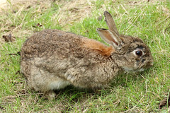 lapin (totoro - David D.) Tags: lapin animal rabbit nature