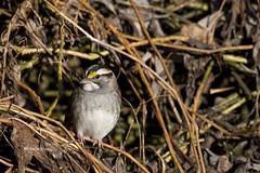 Four sexes! (lamoustique) Tags: whitethroatedsparrow zonotrichiaalbicollis bruantgorgeblanche salmoncreektrail salmoncreek washington