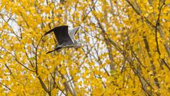 IMG_0240a (berserker170) Tags: sigma 150500 eos extremadura canon 7d puertopeña otoño fall garza ardea naturaleza nature flickrexploreme