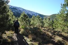 Pines planted to prevent erosion (NaomiQYTL) Tags: pines highatlas trekking atlasmountains trekatlas morocco holiday travel