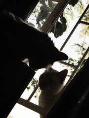 (+music) shadowclub (CatnessGrace) Tags: cats lightandshadow light shadows shadowsandlight plants window silhouettes animalsilhouettes catsilhouettes elegant artistic dramatic artisticphotography cinematic cinematicphotography felines gatti katzen chats gatos