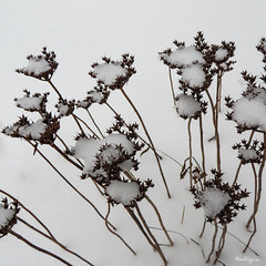 Snowy decorations - Dcorations de neige (monteregina) Tags: qubec canada ca hiver winter neige snow macro closeup monteregina plantes plants plantae fleurs flowers designs textures patterns nature natur dried dead sches mortes caps chapeaux tiges stems endormies flore flora shriveled dry bouquet puffs sedum seedpods crassulaces crassulaceae ttedesemence dryflora winterflora