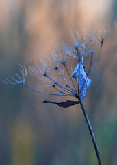 Last Leaf (patrickmai875) Tags: autumn herbst winter leaf blatt dead tot cold kalt blue blau orange nature natur canon 5d mark iv 70200mm f28 art kunst
