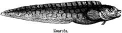 Anglų lietuvių žodynas. Žodis zoarces reiškia <li>zoarces</li> lietuviškai.