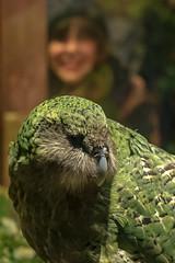 Sirocco_6642 (Janice McKenna | eyemac23 | photography) Tags: newzealand bird wildlife parrot wellington aotearoa avian sirocco strigopshabroptilus kakapo nightparrot strigopidae zealandiaecosanctuary
