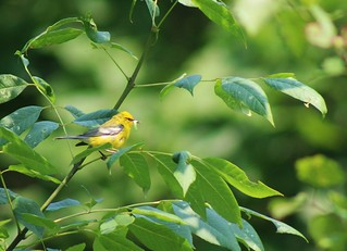 Blue-winged Warbler with Caterpillar