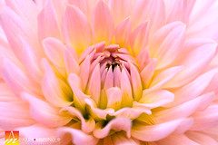 Dahlia-28 (Nualchemist) Tags: sanfrancisco california goldengatepark dahlia light red orange greenleaves white plant flower macro green nature floral colors yellow closeup botanical fire petals beige colorful soft pretty purple bright center sensual flame mysterious bloom symmetrical layers blaze elegant botanicalgarden folds tender fiery palette delightful blazing fullbloom simplyflowers firelike floralphotography 2015dahliashow flalmelike