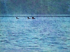 Loons On The Lake (joyolsonnichols) Tags: morning blue wild summer lake bird texture nature water beauty birds animal swimming landscape outdoors photography three photo pond day wildlife maine scenic newengland floating peaceful nopeople calm northamerica loons ripples aquatic waterfowl tranquil avian loon freshwater waterscape artisticphotography tranquilscene commonloon gaviaimmer beautyinnature fisheater texturedphotography joynicholsartworkandphotography