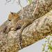 Leopard / Serengeti / Tanzania