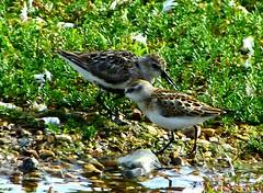juv Little Stint + Dunlin autumn (ericy202) Tags: norfolk reserve dunlin calidrisminuta wadingbirds autumnplumage snettishamrspb juvenilelittlestint
