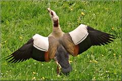 Egyptian Goose (Foto Martien) Tags: england italy france holland bird netherlands dutch turkey germany southafrica israel duck belgium sony sudan arnhem egypt nederland waterbird goose gans jordan greece fowl alpha waterfowl eend slt vogel a77 gelderland egyptiangoose nijlgans alopochenaegyptiacus nilevalley immerloopark nilgans watervogel arnhemzuid ocaegiziana ocadelnilo immerloo hetduifje ouettedégypte gansoegipcio immerlooplas martienuiterweerd martienarnhem halfgans fotomartien africasouthofthesahara sony70400mmf456gssm sonyslta77v sonyalpha77