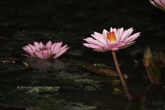 IMG_4298 (singaporeplantslover) Tags: nymphaea   lotus