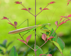 Preying Mantis (H. Fox) Tags: insects preyingmantis macrophotography heavenlybamboo autumn2015