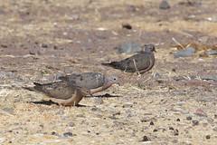 Eared Dove (GRH7447) Tags: peru eareddove