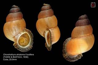 chondrothyra atristoma f.luctifera cuba 25mm9